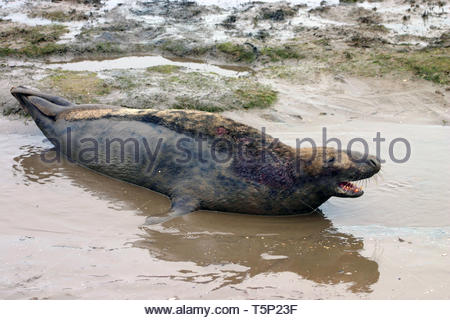 Male Grey Seal  in a pool of water - Stock Image