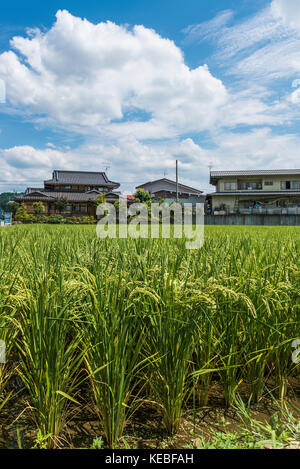 Rice growing in the Summer in a paddy field in a Japanese town - Stock Image