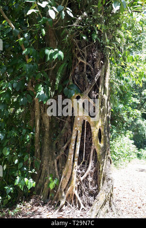 Tree roots wrapped around a trunk in the rainforest in St Lucia - Stock Image