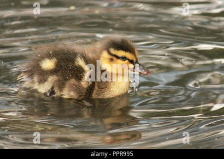 cute duckling swimming on the water, with water drops on it's feathers. Anas platyrhynchos. - Stock Image