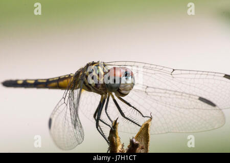 Dragonfly in the garden - Stock Image