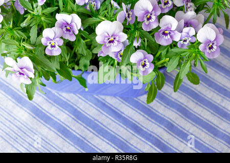 Pansy plants with lots of flowers in shades of lilac, violet and blue against a blue striped background, copy or text space - Stock Image