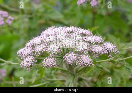 Melanoselinum decipiens. Black Parsley flowers. - Stock Image
