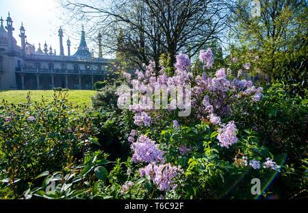 Lilacs in bloom in Pavilion Gardens Brighton UK - Stock Image