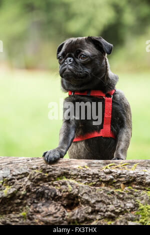 Olive, the Pug, with front paws resting on a fallen tree in Issaquah, Washington, USA - Stock Image