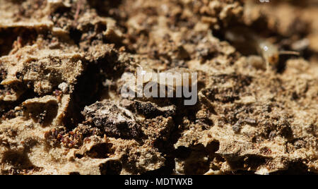 Termite workers going over destroyed, rotten wood, tunnels and faecal pellets (termite droppings). Soft and pale colored body. - Stock Image