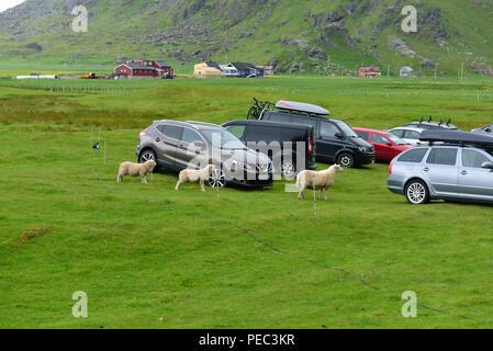 Sheep among cars parked on the grass, Uttakleiv beach, Lofoten Archipelago, Norway 180703_68724 - Stock Image
