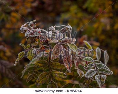 Frozen leaves in pre-winter. Like silverlining around the leaf.Sweden, Scandinavia. - Stock Image