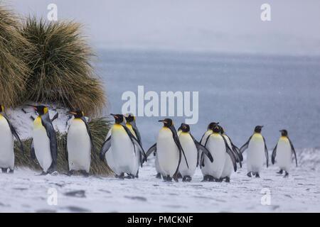 King Penguins, Fortuna Bay, South Georgia, Antarctica. - Stock Image
