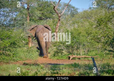 One lone bull African bush elephant walking away from a waterhole, in lush green scenery - Stock Image
