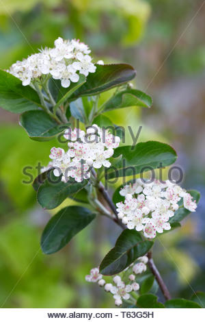 Aronia melanocarpa flowers. - Stock Image