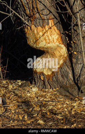 Severely chewed Cottonwood tree trunk by North American Beaver, showing wood shavings on ground. Castle Rock Colorado US. Photo taken in December. - Stock Image