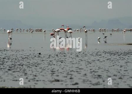 Landscape of Flamingos in a blue lake. Lake Magadi, Kenya. Africa. - Stock Image