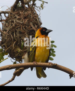 A male village weaver (Ploceus cucullatus) also known as the spotted-backed weaver or black-headed weaver waits for females to appear by its newly cre - Stock Image