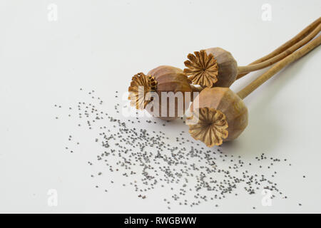 Opium Poppy (Papaver somniferum). Dry seed pots and seeds. Studio picture against a white background - Stock Image