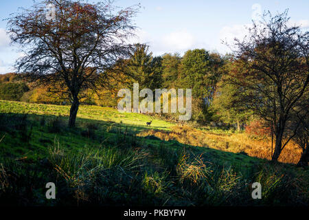 Autumn landscape with a deer at a distance on a field surrounded by colorful trees in the fall - Stock Image