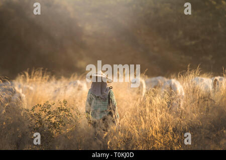 A cow herder walks through a field of cattle at dusk in Bagan, Myanmar - Stock Image
