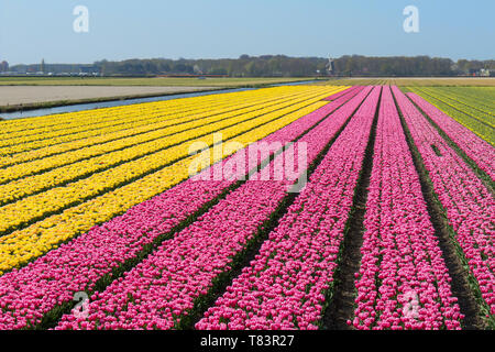 Lisse, Holland - April 18, 2019: Traditional Dutch tulip field with rows of pink and yellow flowers and a windmill in the background - Stock Image