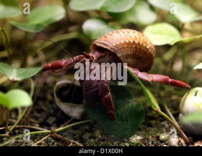 Caribbean Hermit Crab, Coenobita clypeatus, Coenobitidae, Decapoda, Crustacea, Arthropoda. West Atlantic and West - Stock Image