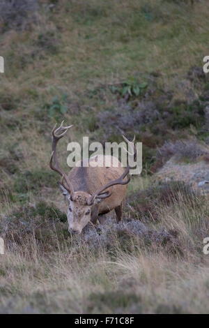 Red Deer stag in the Cairngorms - Stock Image