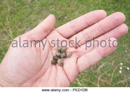 Garden pests. Hare (Lepus europaeus) droppings. - Stock Image