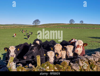 Cattle by drystone wall near Bradwell. Peak District National Park, Derbyshire, England.Peak District National Park, Derbyshire, England. - Stock Image
