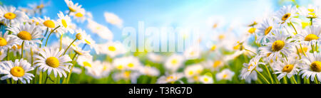 Chamomile flower in the field - Stock Image