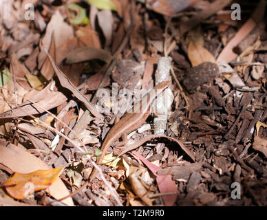 A Northern Red-throated Skink in the undergrowth, at  Hartley's Crocodile Adventures, Captain Cook Highway, Wangetti, Queensland, Australia. - Stock Image