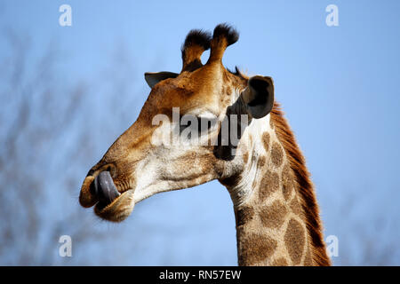 Close-up of a South African Giraffe (Giraffa camelopardalis giraffa), with Its Tongue Out. Modlito Game Reserve, Kruger Park, South Africa - Stock Image