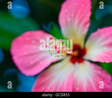 pink hibiscus - Stock Image