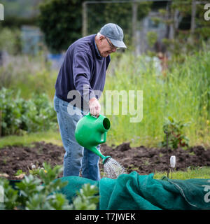 An elderly man using a watering can on his allotment plot in England UK. - Stock Image