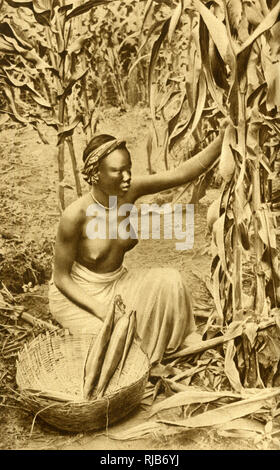 Woman of the Ashanti hinterland, Gold Coast (then part of the British Empire), West Africa, gathering maize. - Stock Image