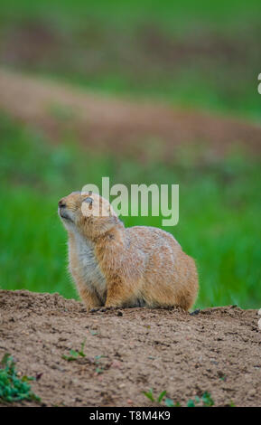 Female Gunnison's prairie dog (Cynomys gunnisoni), Castle Rock Colorado US. Photo taken in May 2019. - Stock Image