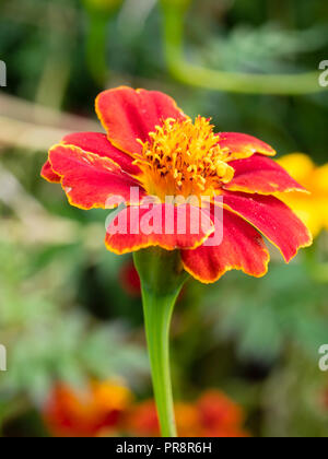 Gold rimmed red single flower of the tall annual growing african marigold, Tagetes 'Cinnabar' - Stock Image