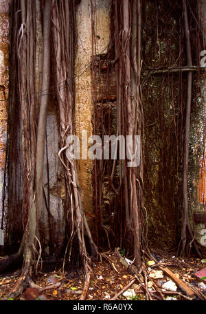 Complete jungle takeover of house walls in Malasia. - Stock Image