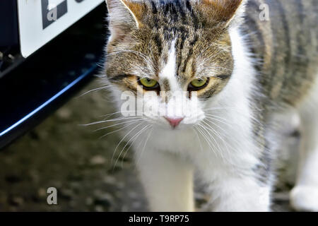 Larry the 10 Downing Street Cat in Downing Street, Westminster, March 2019 - Stock Image