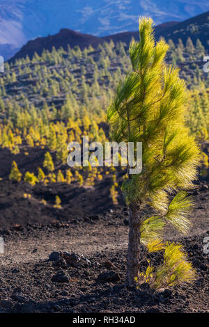 Windswept, Pinus canariensis, canarian pine trees growing in the volcanic landscape in the Las Canadas del Teide national park, Tenerife, Canary Islan - Stock Image