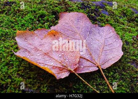 Leaves with rain drops on moss in the forest - Stock Image
