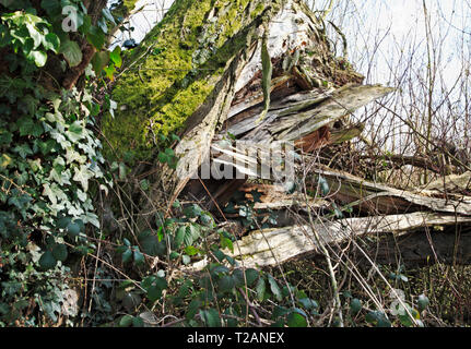 A splintered tree felled in high winds by the River Bure at Great Hautbois, near Coltishall, Norfolk, England, United Kingdom, Europe. - Stock Image