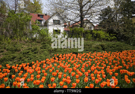Tulip flower bed at spring time along Queen Elizabeth Drive, Ottawa, Ontario, Canada - Stock Image