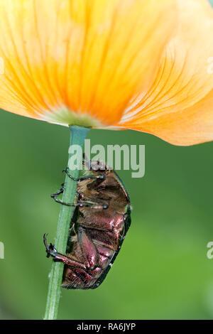 UK Berkshire Rose Chafer Beetle - Stock Image