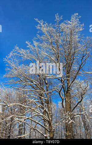 Snow-covered tree branches in winter forest on background of blue sky - Stock Image