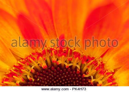 Inside a beautiful Chrysanthemum Flower - Stock Image