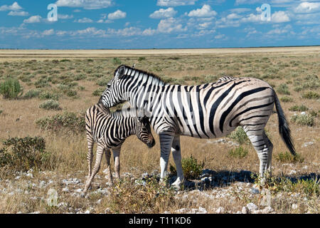A mother and baby zebra graze in the Etosha National Park, Namibia. - Stock Image