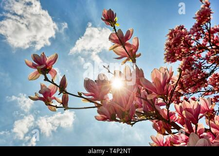 Flowering Chinese Magnolia (Magnolia x soulangeana), sun shines through blossoms, Lower Saxony, Germany - Stock Image