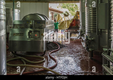 Man shoveling discarded vine stalks into a trailer. These are re-used as compost.  Sea Campo Adega - Grape harvest - Stock Image