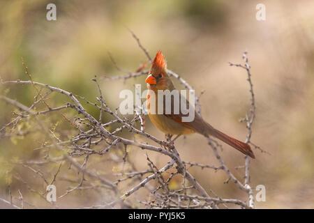 Northern Cardinal, McDowell Mountain Regional Park, Near Fountain Hills and East of Phoenix, Arizona. - Stock Image