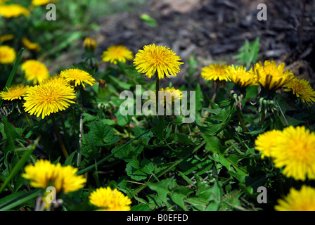 Dandelion patch. Taken in mid spring on an overcast day. - Stock Image