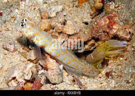 Spotted Shrimpgoby, also known as a black-chest Shrimpgoby, Amblyeleotris guttata, with Alpheid Shrimp, Alpheus ochrostriatus. Uepi, Solomon Islands.  - Stock Image