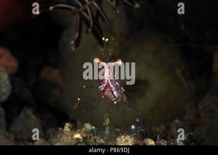 Close-up of a Shrimp (unidentified sp). Anilao, Philippines - Stock Image